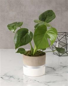 plants: Keep It Simple Monsteria In Pot!