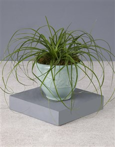 plants: Going Green Ponytail Palm!