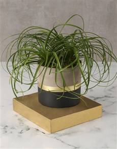 plants: All That Glitters Ponytail Palm!