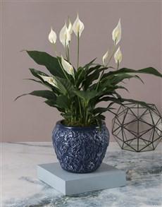 plants: Elegant Spathiphyllum Pot Plant!
