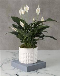 plants: Opulent Spathiphyllum Pot Plant!