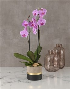 gifts: Polished Orchid In Gold Striped Pot!