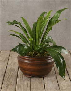 plants: Asplenium In Rustic Brown Pot!