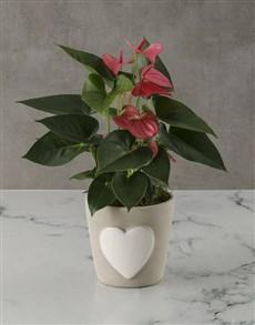plants: Love Heart Anthurium Pot!