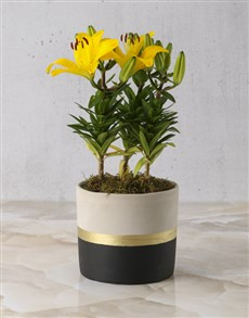 plants: Asiatic Lily Pot Of Gold!