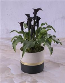flowers: Zantedeschia In A Black And Gold Pot!