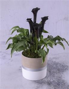 flowers: Zantedeschia In A White And Silver Pot!