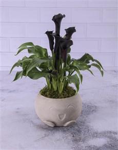 flowers: Zantedeschia In Heart Pot!