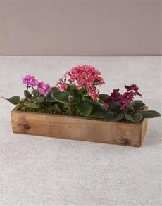 plants: Velvety Violets Bloom Box!