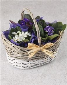 plants: African Violets Bright Bloomers Basket!