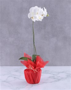 gifts: Lighthouse White Orchid!