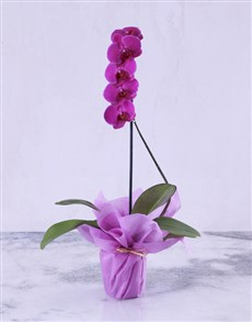 plants: Pink Lady Orchid Plant!