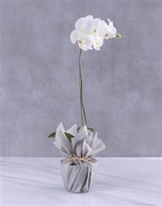 plants: Moon Dust Orchid Flower!