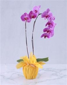plants: Summer Splash Orchid Plant!