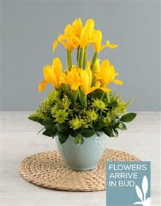 flowers: Yellow Irises In Ceramic Vase!