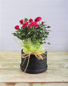 flowers: 16cm Rose Bush in Hatbox!