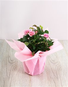 flowers: 14cm Rose Bush in Wrapping!