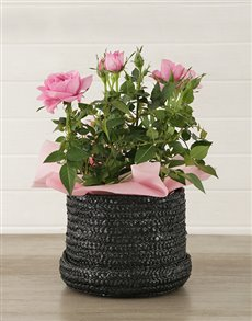 flowers: 14cm Rose Bush in Hatbox!
