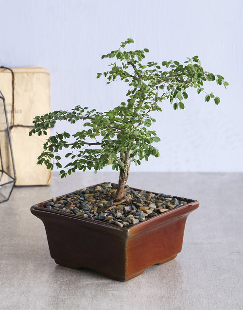 bosses-day: Small 5 Year Old Bonsai!