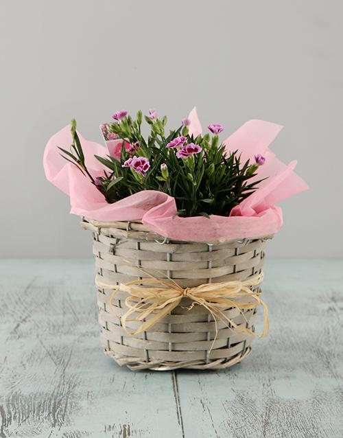 basket: Dianthus in a Basket!