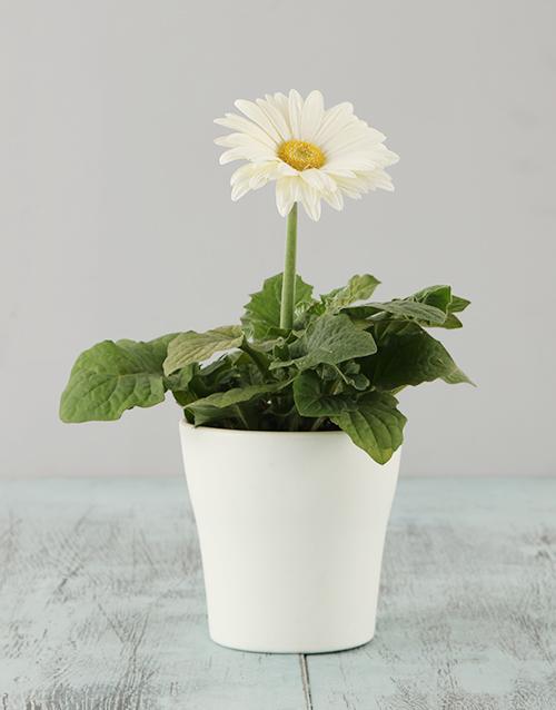 apology: White Mini Gerbera in a White pot!