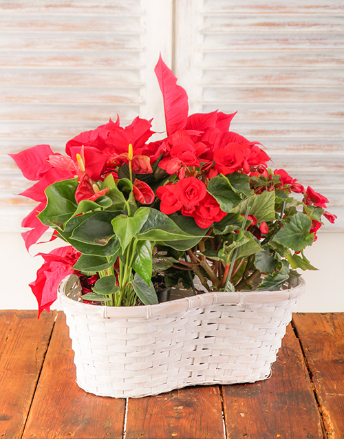 christmas: Poinsettia Begonia and Anthurium Plant in Basket!
