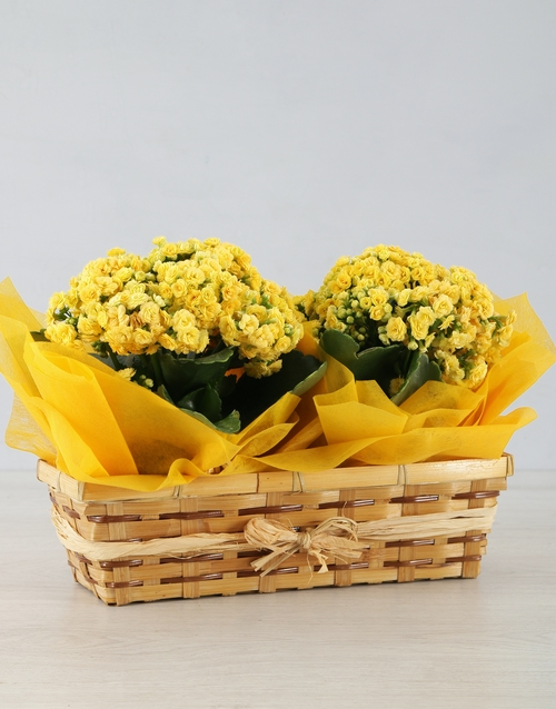 friendship: Double Yellow Kalanchoe in Natural Basket!