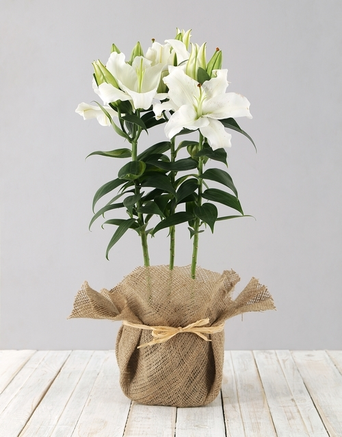 christmas: Casablanca Lily in Hessian!