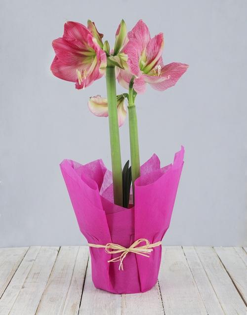 lilies: Pink Amaryllis Plant!