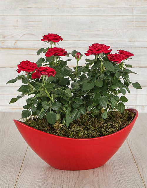 anniversary: Red Rose Bush in Red Boat Vase!
