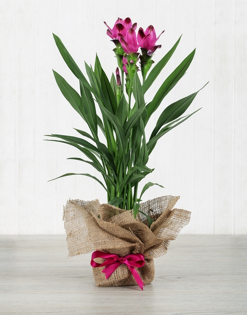 colour: Purple Curcuma Plant in Hessian Wrapping!