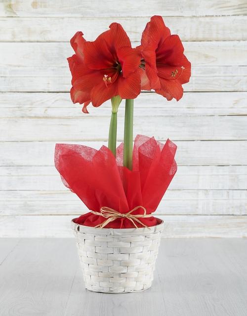 colour: Red Amaryllis in White Basket!