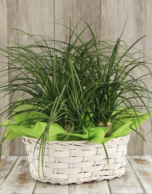 basket: Triple Ponytail Palm Basket!