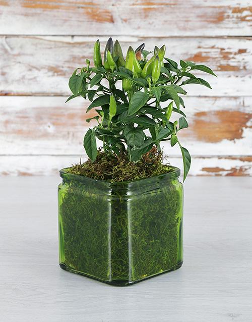 vase: Chilli Plant in Green Vase!