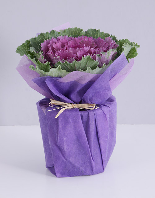 colour: Purple Kale Plant in Wrapping!