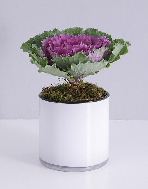 colour: Kale Plant in White Cylinder Vase!