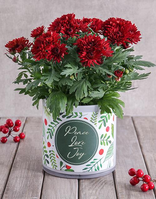 christmas: Christmas Chrysanthemum in Cylinder Vase!