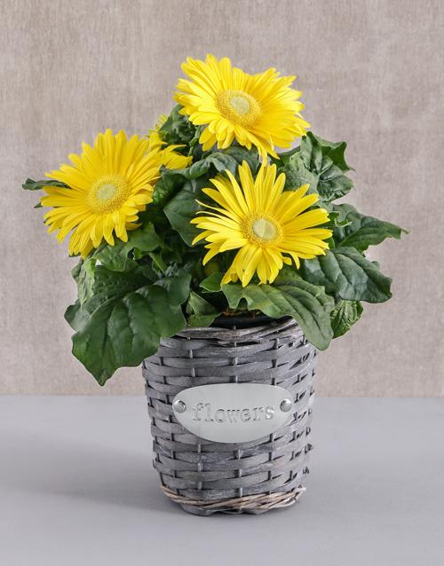 colour: Mini Gerbera Plant in Flower Basket!