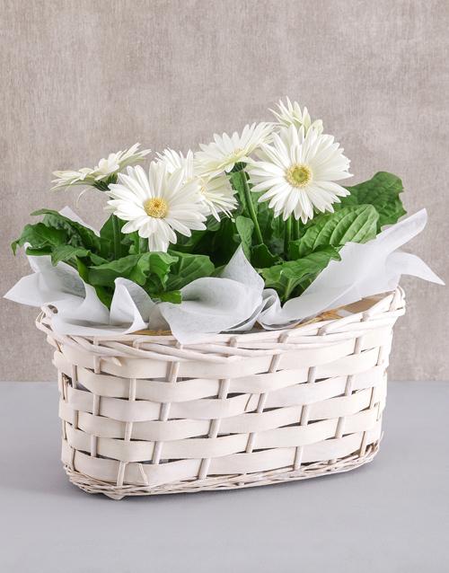 colour: Double Mini Gerbera Plant Basket!