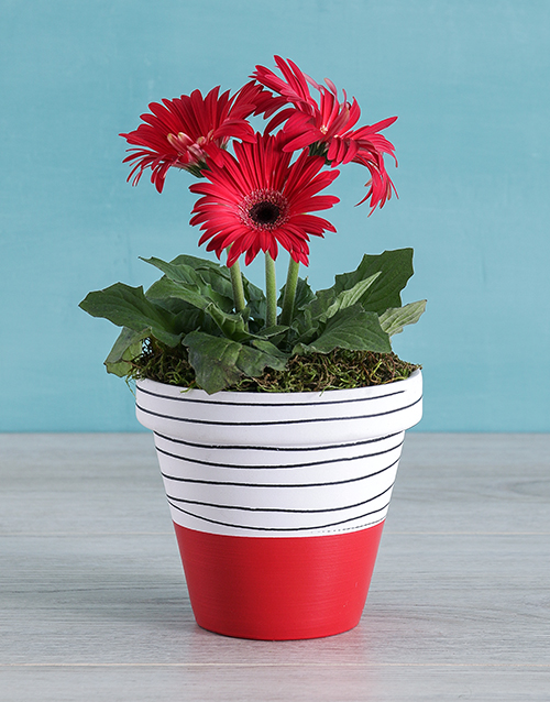 christmas: Red Mini Gerbera Plant in Striped Pot!