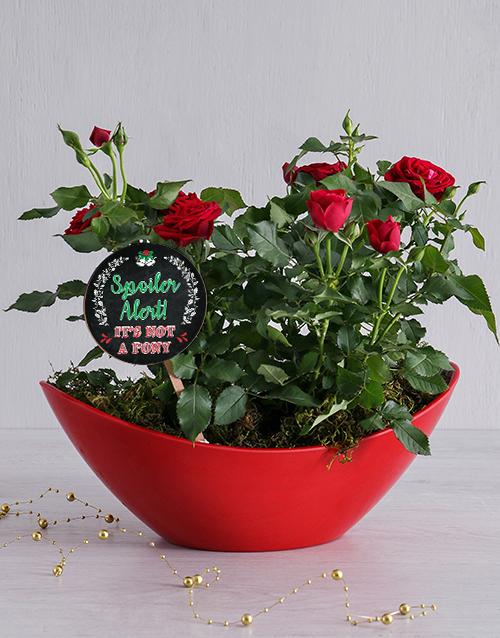 colour: Spoiler Alert Red Rose Bush!
