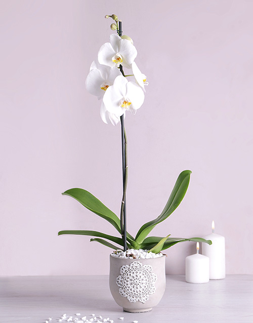 year-end: Phalaenopsis Orchid in Doilie Pot!