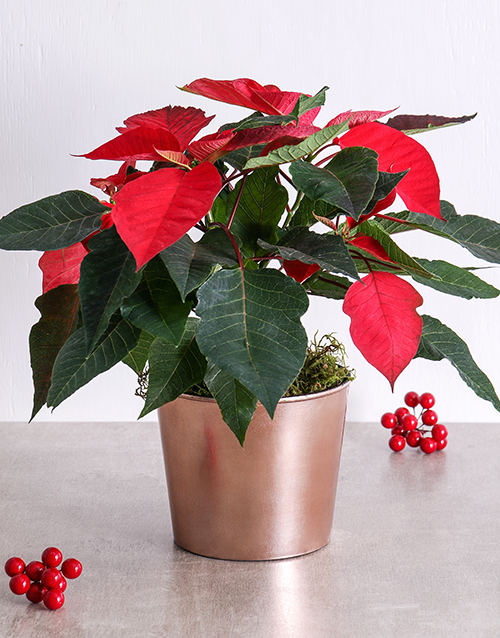 christmas: Red Poinsettia Plant in Rosedust Copper Pot!