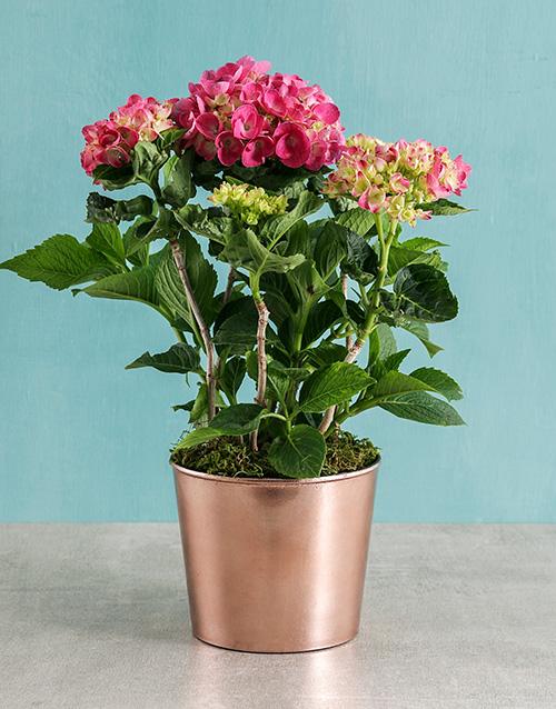 engagement: Pink Hydrangea in Cleo Pot!