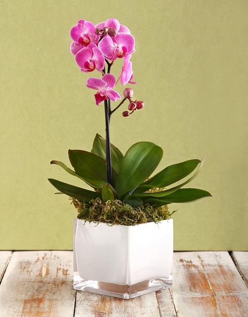 colour: Mini Orchid in a White Vase!