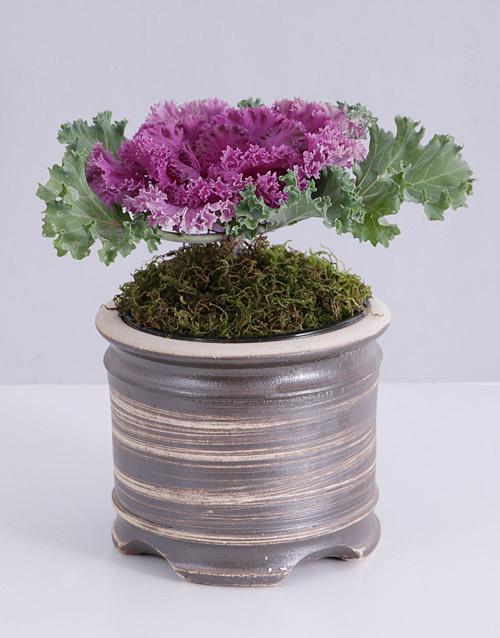 colour: Purple Kale Plant in Pot!
