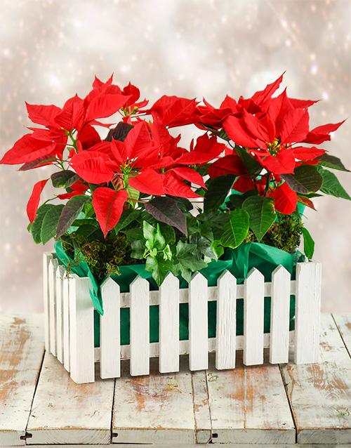 colour: Poinsettia Picket Fence!