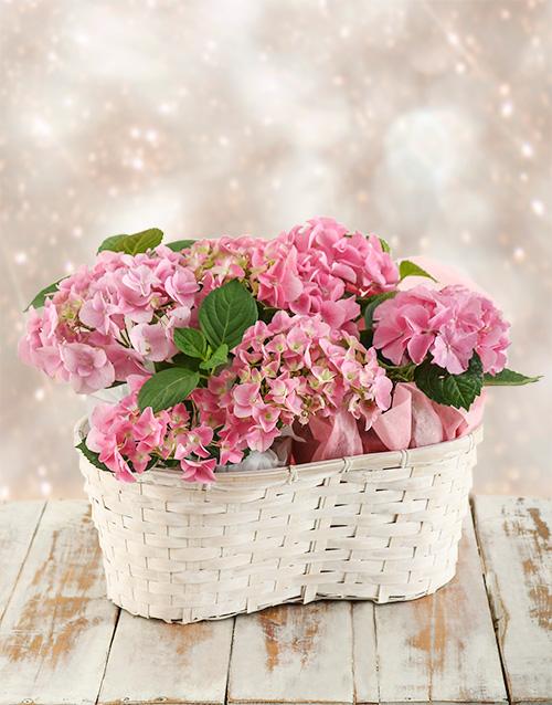 plants: Triple Pink Hydrangea Basket!