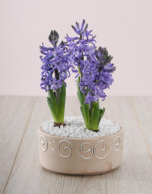 plants: 3 Blue Hyacinths in a Ceramic Pot!
