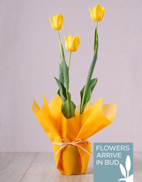 spring-day: Yellow Tulip Plant!